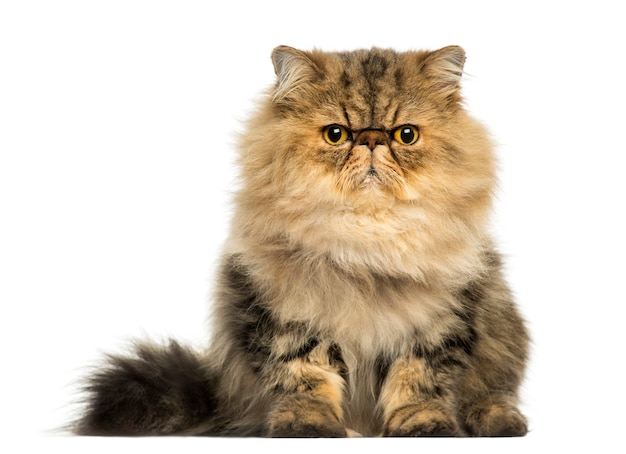 Front view of a grumpy persian cat looking at the camera isolated on white