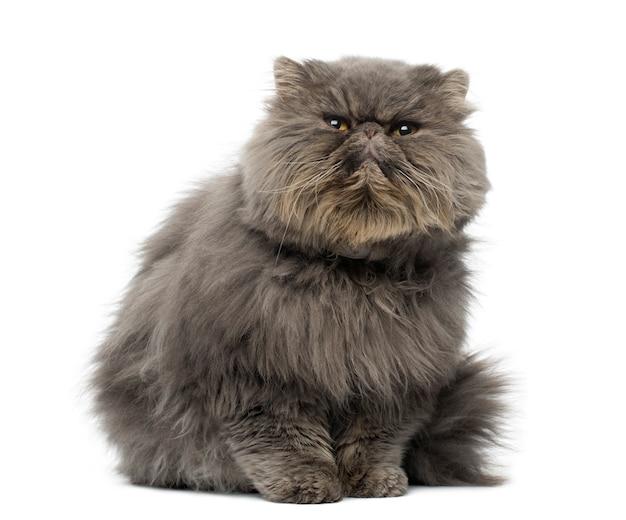 Front view of a grumpy persian cat sitting looking up isolated on white
