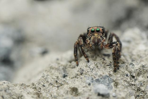 전면보기 점프 거미