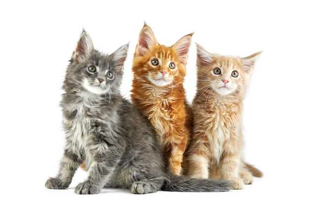 Front view of maine coon kittens