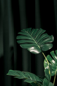 Front view monstera plant next to curtain
