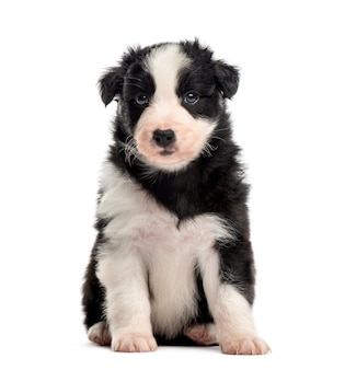 Вид спереди помесного щенка, сидящего на белом