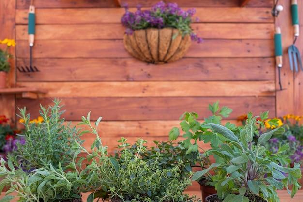 芳香性ハーブのポットのグループの正面図。壁に掛かっている園芸工具と素朴な木製の背景