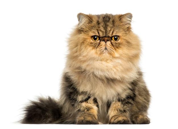 흰색에 고립 된 카메라를보고 심술 페르시아 고양이의 전면보기