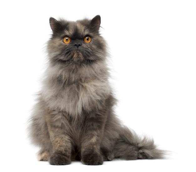 Вид спереди сварливой персидской кошки, сидящей изолированной на белом
