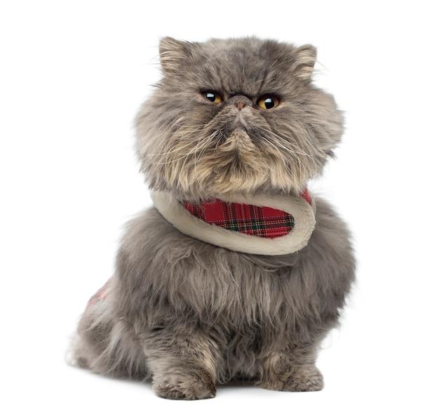 흰색에 고립 앉아 타탄 하네스를 입고 심술 페르시아 고양이의 전면보기
