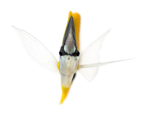 Longnose butterflyfish, forcipiger longirostris, 흰색 절연의 전면보기