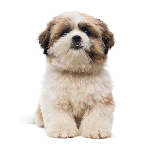 白で隔離される横になっているシーズーの子犬の正面図