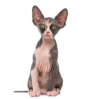 Sphynx 새끼 고양이의 전면보기 앉아 흰색에 고립 된 카메라를보고