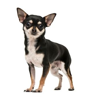 白で隔離のカメラを見ている若いチワワの子犬の正面図