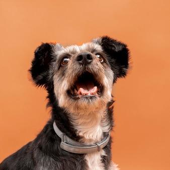 Вид спереди очаровательного щенка смешанной породы с широко открытым ртом