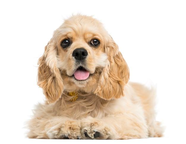 白で隔離されるアメリカのコッカーspaniel子犬の正面図