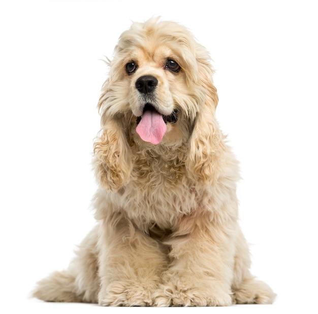 白で隔離される座っているアメリカン・コッカー・スパニエルの子犬の正面図