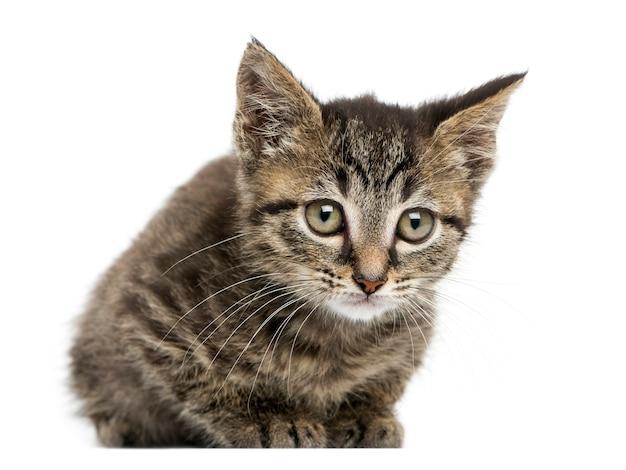 Европейский короткошерстный котенок, изолированные на белом, вид спереди