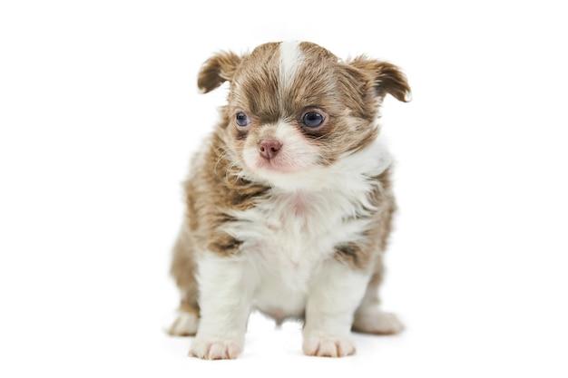 かわいいチワワの子犬の正面図