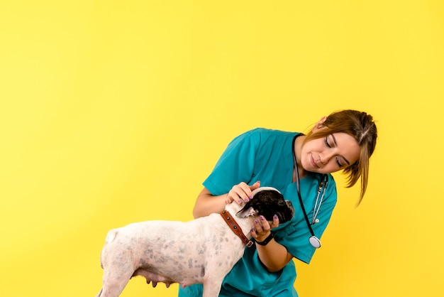 노란색 벽에 작은 개를 관찰하는 여성 수의사의 전면보기