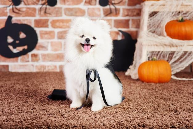 Вид спереди счастливого шпица во время хэллоуина