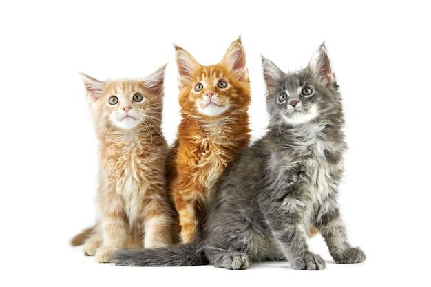 メインクーンの子猫の正面図
