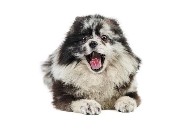 メルルポメラニアン子犬の正面図