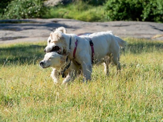 Вид спереди двух собак, играющих на лугу. две собаки играют на травянистом поле в солнечный день.