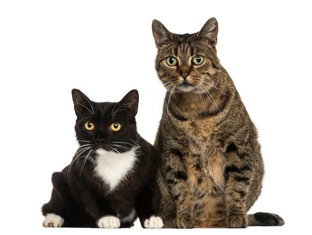 白で隔離される2つのヨーロッパのショートヘアの猫の正面図