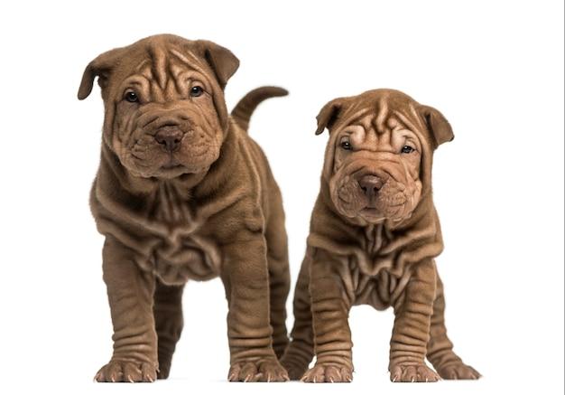 Вид спереди двух щенков шарпея, стоящих на белом