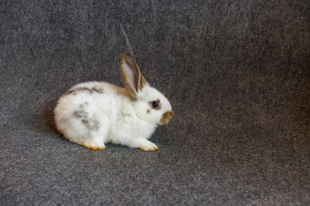 흰색 배경에 고립 된 흰색 귀여운 아기 네덜란드 롭 토끼 서의 전면 보기. 어린 토끼의 사랑스러운 액션.