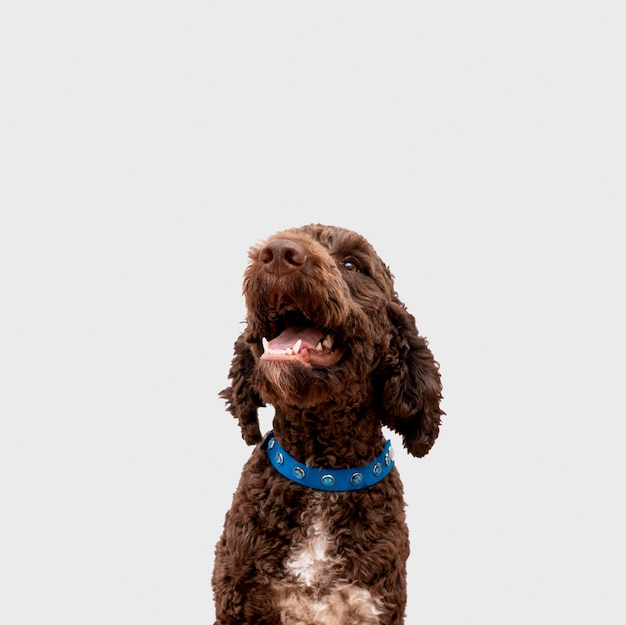 Front view poodle with tongue out