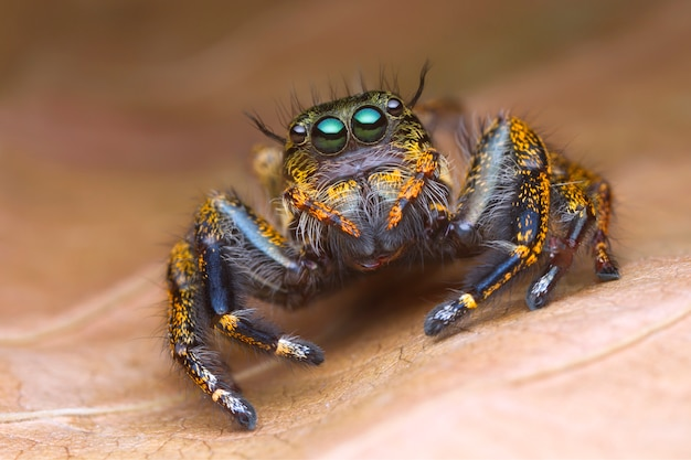 Front view portrait with extreme magnified details of colorful jumping spider