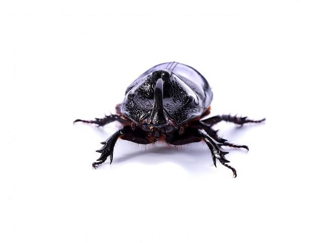 Front view of rhinoceros beetle on white background