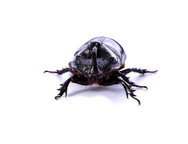 Vista frontale del rhinoceros beetle su sfondo bianco