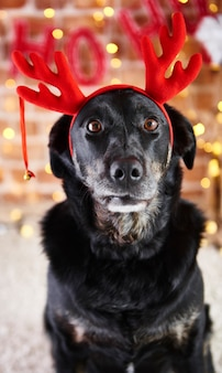 Front view of sad dog with reindeer's antlers