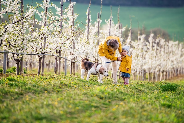 Front view of senior grandmother with granddaughter with a dog walking in orchard in spring.