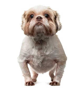 Front view of a shih tzu standing up and looking at the camera