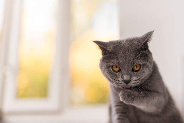Front view of staring grey british shorthair cat