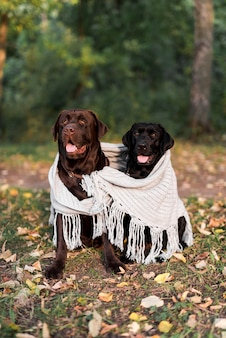 Front view of two black and brown labrador sitting with white scarf in park