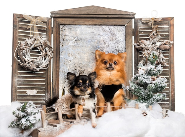 Front view of two dressed-up chihuahuas sitting a bridge in a winter scenery