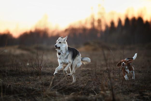 Вид спереди двух собак хаски и бигля, стоящих, играющих и бегущих друг к другу на поле в сумерках