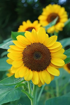 Front view of a vibrant yellow sunflower in the garden