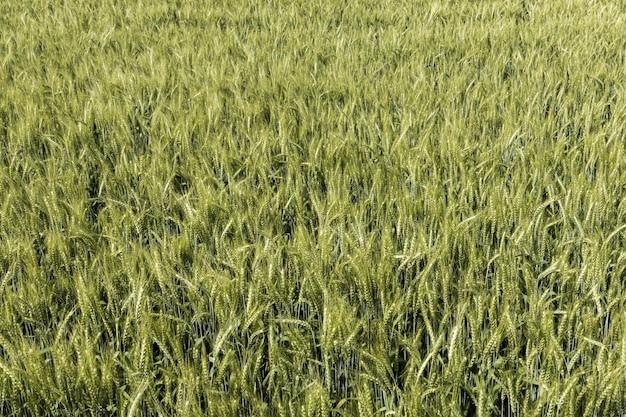 Vista frontale del campo di grano