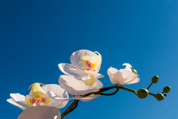 Front view of white orchid flower branch, on blue sky background.