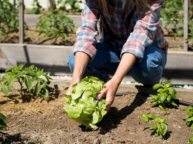 Front view woman taking a green cabbage from the ground