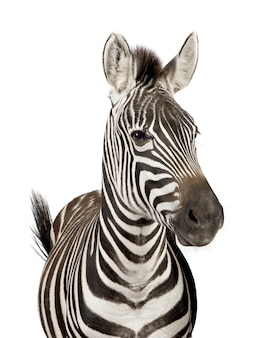 Front view of a zebra on a white isolated