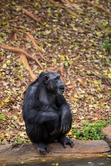 젊은 침팬지의 정면 초상화
