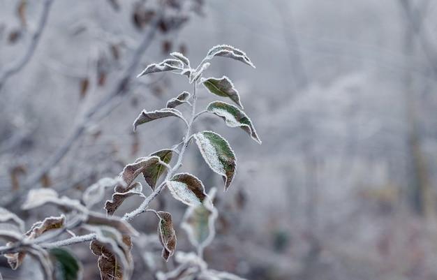 初冬の乾燥した葉を持つ霜で覆われたリンゴの木の枝