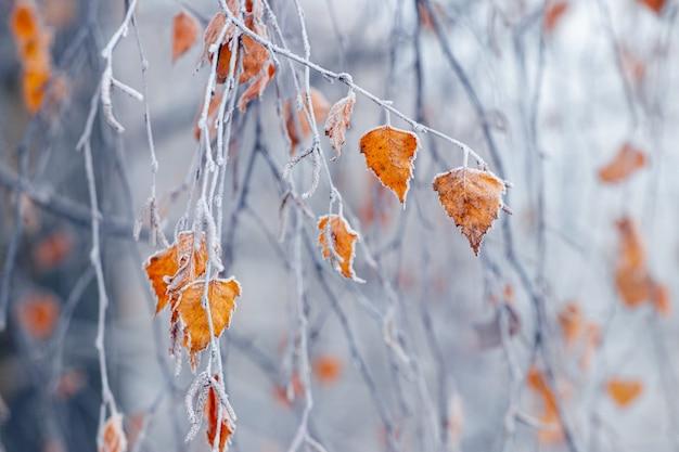 ぼやけた背景の霧の中で乾燥した葉を持つ霜で覆われた白樺の枝