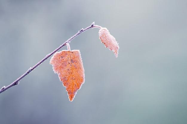 Покрытая инеем березовая ветка с сухими листьями на размытом фоне в туманную погоду