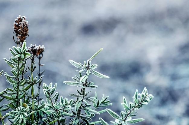 서리로 덮인 회양목 잎, 겨울 배경, 복사 공간