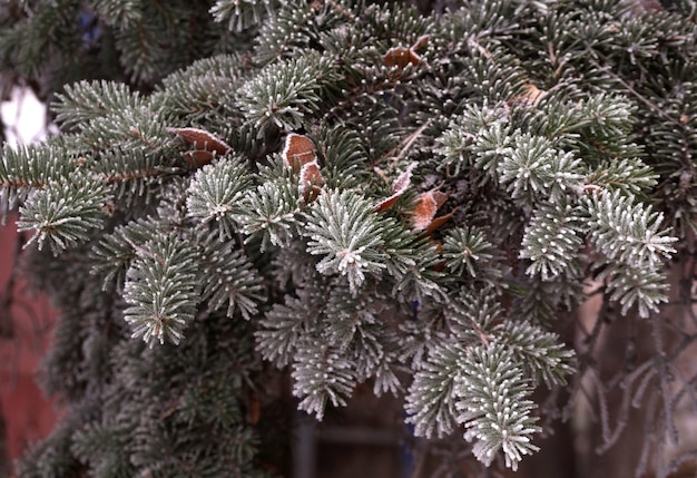 A frost-covered branch of a spruce tree in winter in a city park
