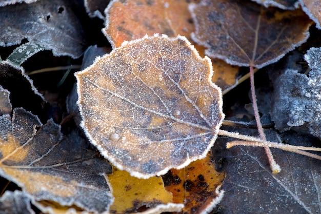地面に霜で覆われた乾燥した落ち葉